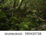 moss forest in shiratani... | Shutterstock . vector #590435738