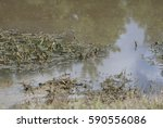 Small photo of An alligator (Alligator mississippiensis) peeking from under murky water