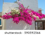 Bougainvillea On The Wall Of A...