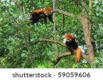 Red Panda Bears In Tree