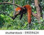 Red Panda Bear In Tree