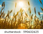 field with gold ears of wheat... | Shutterstock . vector #590632625