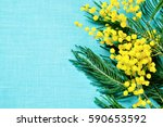 mimosa flowers on the turquoise ... | Shutterstock . vector #590653592