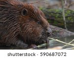 beaver. close up of the head.  | Shutterstock . vector #590687072