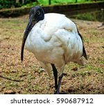 African Sacred Ibis In Sir...