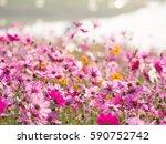 flower field cosmos | Shutterstock . vector #590752742