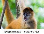 A Brown Spider Monkey Stares...