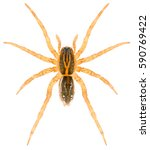 Small photo of Piratula hygrophila wolf spider isolated on white background. Dorsal view of spider