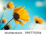 beautiful yellow spring flowers ... | Shutterstock . vector #590775356