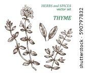 thyme.  botanical illustration. ... | Shutterstock .eps vector #590797832