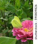 Small photo of Common brimstone preying on the pink Zinnia flower