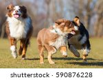 Stock photo three australians shepherds one puppy and two adults running on the meadow 590876228
