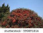 Pyracantha Coccinea  Evergreen...