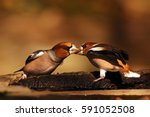 Two Adult Hawfinches ...