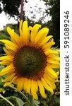Helianthus Flower Closeup ...