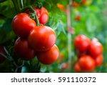 ripe organic tomatoes in garden ... | Shutterstock . vector #591110372
