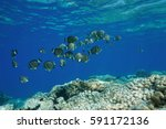 Small photo of Underwater Pacific ocean shoal of fish whitespotted surgeonfish, Acanthurus guttatus, over a coral reef, Rangiroa, Tuamotu, French Polynesia