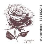 vintage hand drawn rose.... | Shutterstock .eps vector #591182246