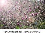 magnolia tree blossom   Shutterstock . vector #591199442