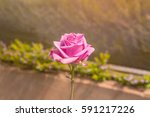 Stock photo beautiful pink rose in a garden vintage style background 591217226