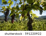 row of grapevine in backlit...