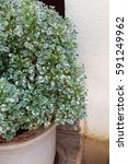 Small photo of Euonymus fortunei, Emerald gaiety in the pot near white wall