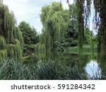 Weeping Willow Trees Around A...