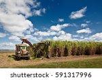 sugar cane harvesting in... | Shutterstock . vector #591317996
