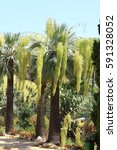 Small photo of Palm tree ample bloom
