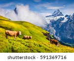 cattle on a mountain pasture.... | Shutterstock . vector #591369716