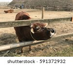 cattle in the fence | Shutterstock . vector #591372932