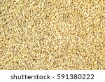 paddy rice background. | Shutterstock . vector #591380222