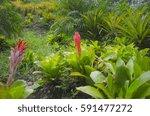 flaming torch  billbergia... | Shutterstock . vector #591477272