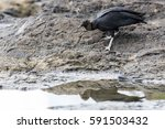 black vulture foraging in the... | Shutterstock . vector #591503432