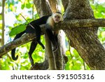 a white faced capuchin takes...   Shutterstock . vector #591505316