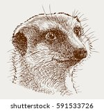 portrait of a surprised mongoose | Shutterstock .eps vector #591533726