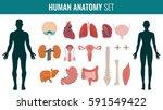 human internal organ anatomy... | Shutterstock .eps vector #591549422