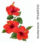 Stock photo bright large flowers and buds of red hibiscus isolated on white background 591609242