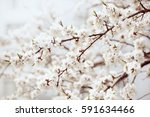 apricot tree flower with buds... | Shutterstock . vector #591634466