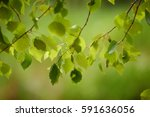 sunny young green spring leaves ... | Shutterstock . vector #591636056