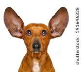 dachshund or  sausage dog... | Shutterstock . vector #591646328