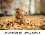 old golden retriever laying in... | Shutterstock . vector #591958916