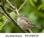 small female sparrow sitting on ... | Shutterstock . vector #59198929