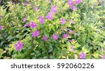 little purple flower at garden... | Shutterstock . vector #592060226