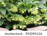 Small photo of Hellebore a bush with deflowered flowers horizontally. Ranunculales Family. Helleborus.