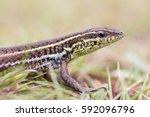 Small photo of Ophisops elegans (Snake-eyed Lacertid, Snake-eyed Lizard)
