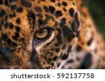 jaguar  panthera onca  eyes  in ... | Shutterstock . vector #592137758