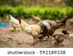chickens with a blurry... | Shutterstock . vector #592189238