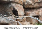 A Captured Golden Eagle  Aquil...