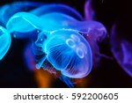 Jellyfish In Action In The...